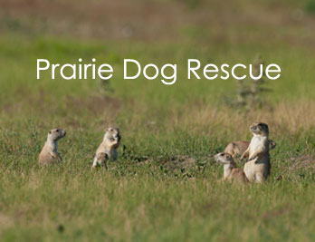 Prairie Dog Rescue