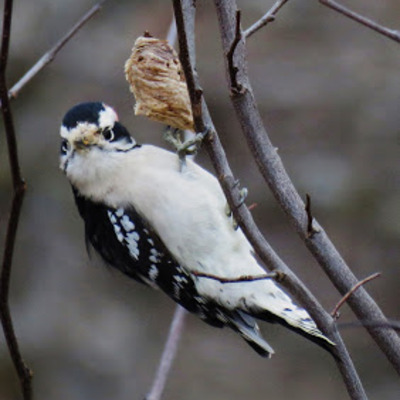Downy Woodpecker poses by her hoped-for lunch-bucket