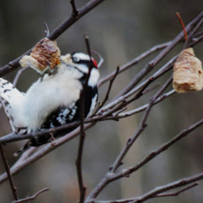 Downy Woodpecker drilling one of those holes