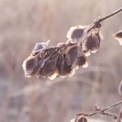 Aren't the seeds of Climbing False Buckwheat beautiful?