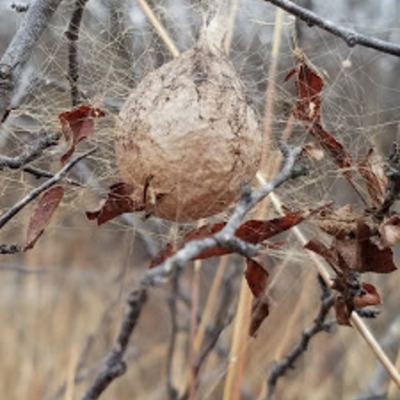 Egg sac of a Black-and-Yellow Garden Spider (Argiope aurantia), suspended from plum twigs